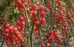 圣女果是转基因吗?种植技术有哪些?