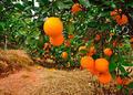 脐橙怎样防治星天牛?种植技术有哪些?
