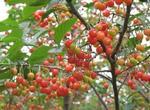 樱桃的功效和作用有哪些?价格走势怎样?