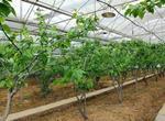 温室大棚樱桃如何管理温度?对环境有什么要求?