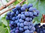 紫金早生葡萄品种好不好?种植效益有多高?