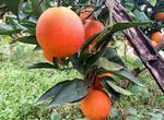 血橙含有哪些营养成分?高产栽培技术