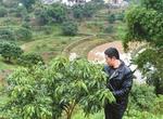 种植荔枝如何防冻?对环境有什么要求?