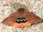 种龙眼如何防治毛翅夜蛾?最佳种植时间?