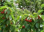 樱桃病毒性病害怎样防治?怎么种植?