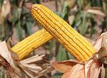 河南玉米产业发展有了新引擎(图)