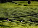 广西凌云春茶开采上市 畅销海内外(图)
