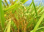 永州市冷水滩:65万公斤优质水稻种备春耕