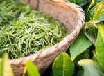 无锡市春茶提前开采 明前茶产量较去年将略增(图)