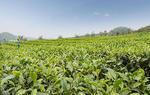 长沙市3万多亩沩山茶开始采摘(图)