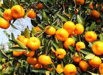 全国各大水果市场沃柑量价齐升(图)