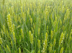 中科院植物所提醒介导小麦着花新机制(图)