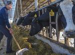 山东:万头以上奶牛场19处 具有劣种繁育基础条件(图)