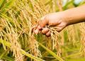 重庆丰都水稻常年种植面积保持32万亩(图)