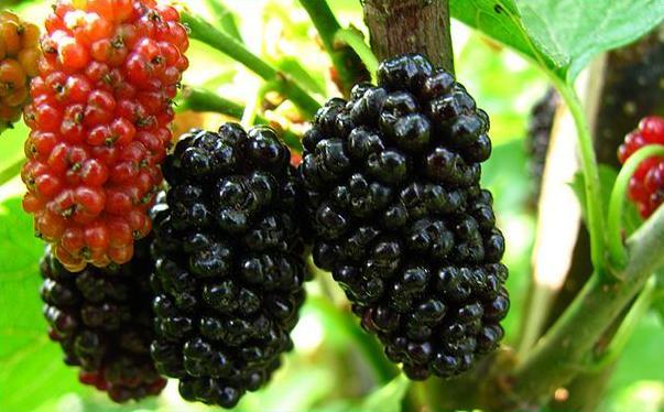 桑葚可以和草莓一起吃吗?桑葚和什么搭配一起吃最好?[图]图片1