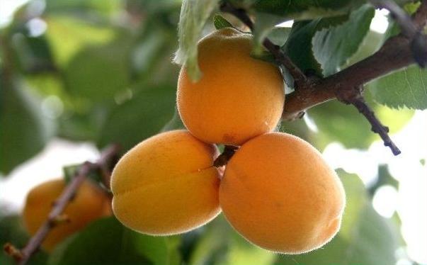 吃山西运城杏子对男性的好处?男性吃山西运城杏子有什么好处?[图]图片1