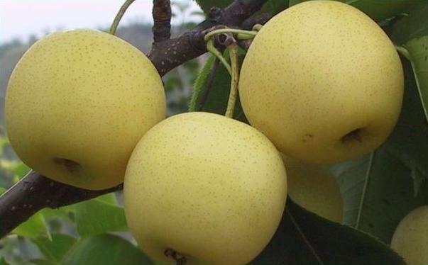 吃梨对皮肤好吗?保养皮肤能吃梨吗?[多图]图片4