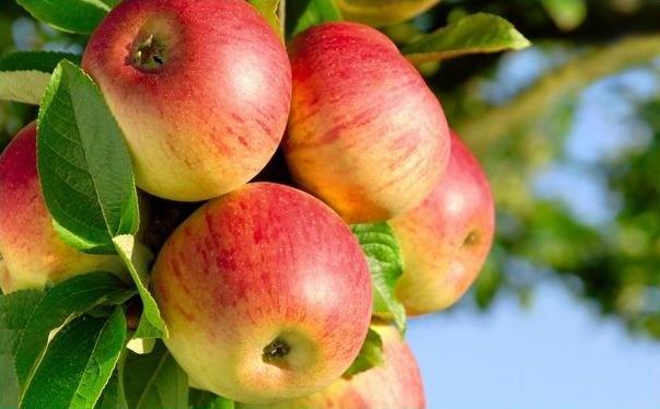 饭前吃苹果好还是饭后吃苹果好?苹果什么时候吃好?[图]图片1