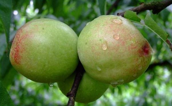 晚上能吃河北石家庄蜜桃吗?晚上吃河北石家庄蜜桃好吗?[图]图片1