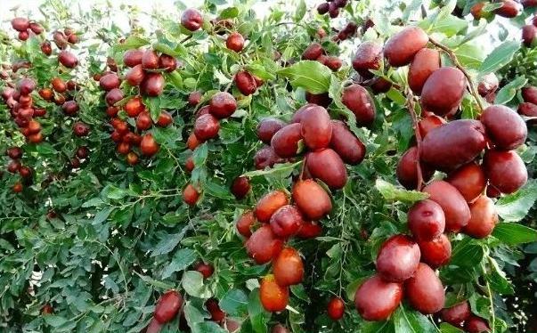 红枣和花生能一起吃吗?红枣和花生一起吃会中毒吗?[多图]图片1
