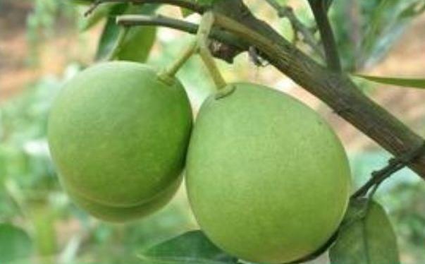 湖北宜昌青柚能吃吗?湖北宜昌青柚有毒吗?[图]图片1