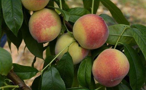 桃子能放冰箱储存吗?怎样长时间
