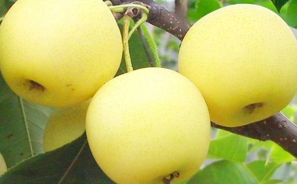 梨可以做什么美食?哪些美食可以用梨制作?[多图]图片1