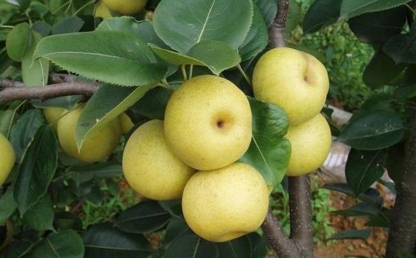 梨可以做什么美食?哪些美食可以用梨制作?[多图]图片4