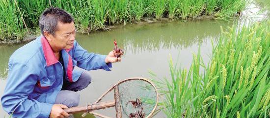 稻蝦共生(水稻&小龍蝦)高效生態種養模式及成功項目案例效益分析,稻蝦基地水稻田出租出讓