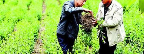 蒼術種植栽培管理技術及產業投資畝產價值分析,蒼術種植基地與土地資源推介