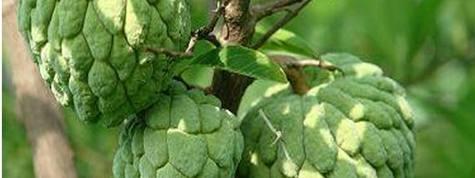 番荔枝釋迦果種植栽培技術及畝產價格效益分析,釋迦果種植基地與土地資源推介