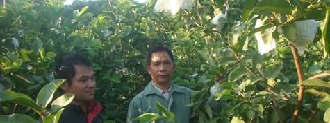 番石榴芭樂種植栽培技術及產量產值市場行情分析,番石榴種植基地與土地資源推介