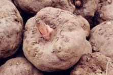 皇冠体育网址|2018年魔芋市场价格多少钱一斤?什么时间种植最好?