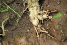 西瓜根结线虫怎么防治?什么时候播种?