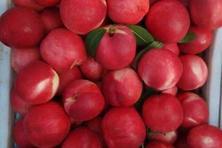 瑞光51号油桃品种好不好?什么时候播种?