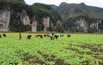 毕节市龙场镇蔬菜种植正当时(图)