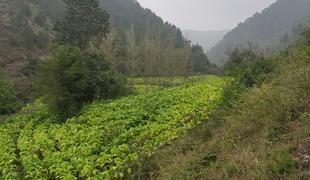 河南三門峽市盧氏縣300畝耕地可種植中藥材出租,租金:400元/每畝