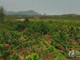 石家莊80畝果園已種櫻桃葡萄樹,可整租可分租